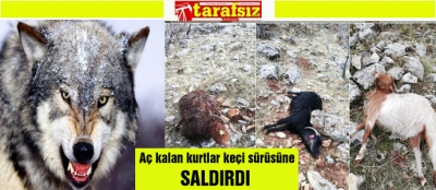 Aç kalan kurtlar, keçi sürüsüne saldırdı