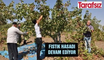 FISTIK HASADI DEVAM EDİYOR